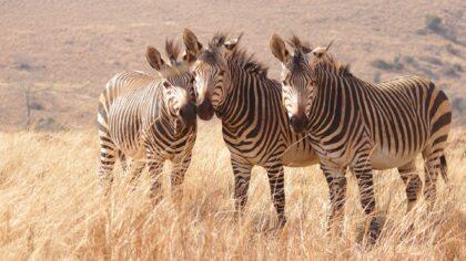 Three zebras stand on a grassy plain