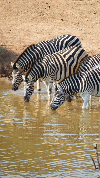 Zebras drink from a pool of water.